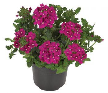 Verbena-peruviana-Venturi-Rose_17077_3