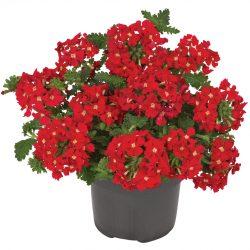Verbena-peruviana-Venturi-Scarlet_17656_4