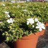 Phlox 'Fabulous White' in pot 13cm