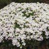 Randjesbloem, blauwkussen / Aubrieta hybride 'Regado white' - potmaat: 9cm