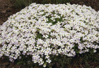 aubrieta hybride regado white