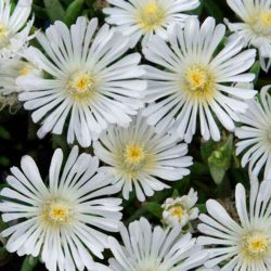 delosperma wow white