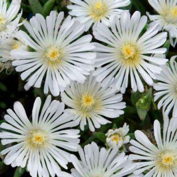 delosperma wow white