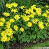 Voorjaarszonnebloem / Doronicum orientale - potmaat: 9cm