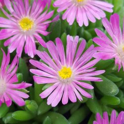Delosperma Jewel of Desert® Candystone - perennial