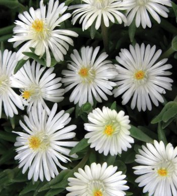 Delosperma Jewel of Desert® Moonstone - perennial