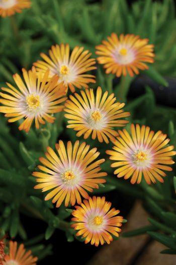 Delosperma Jewel of Desert® Topaz - perennial